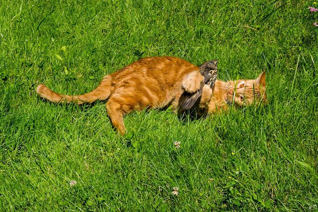 gatto cattura merlo