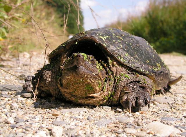world record largest alligator snapping turtle  world record la...