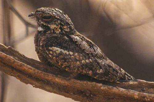 Indian birds - Jungle nightjar - Caprimulgus indicus