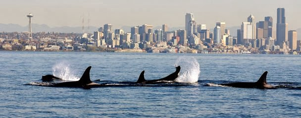 Orcas put on show as ferry transports tribal artifacts to Bainbridge Island