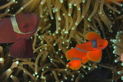terumbu karang bawah laut pulau Menjangan