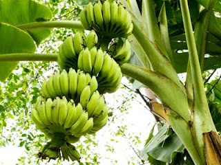 Benefits of Trees Go Bananas