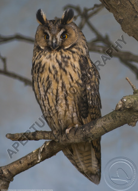 Eagle owl sitting on a branch with its eyes wide open looking towards the camera