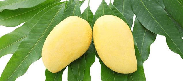 hojas de mango para reducir la diabetes