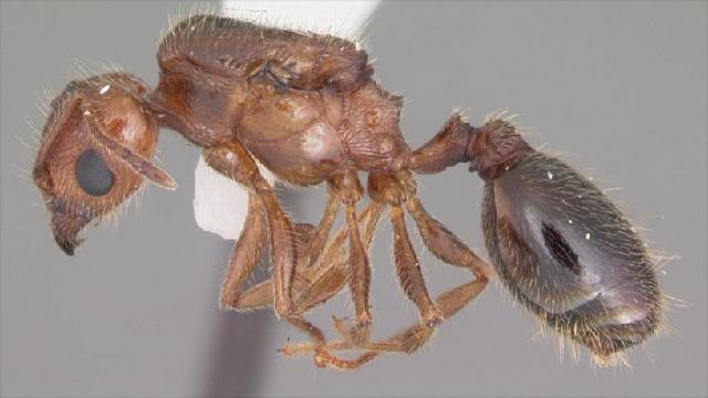 Científicos descubren una especie de hormiga que nunca envejece
