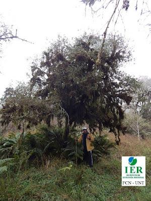 Horco mato (Myrcianthes mato)