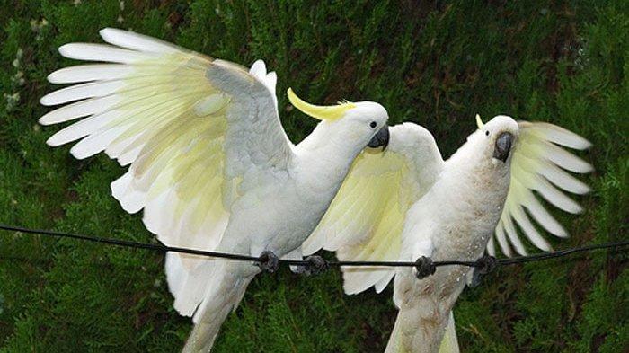 Perbedaan Burung Kakatua Biasa dengan Kakatua Raja