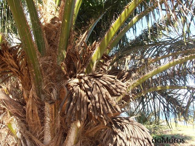 PALMA DEL ACEITE Elaeis guineensis