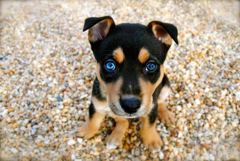 Potential Causes Of Problems In Pet Store Puppies