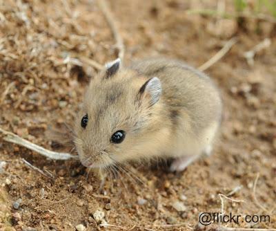 Hamster kerdil bergaris