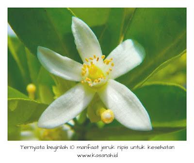 Bunga dari pohon jeruk nipis