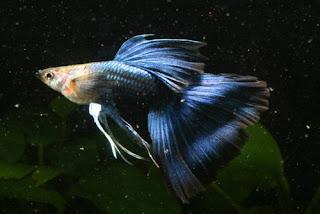 أسماك الطاووس الصينية الرائعة الجمال سبحــــــان الله image0055-728271.jpg