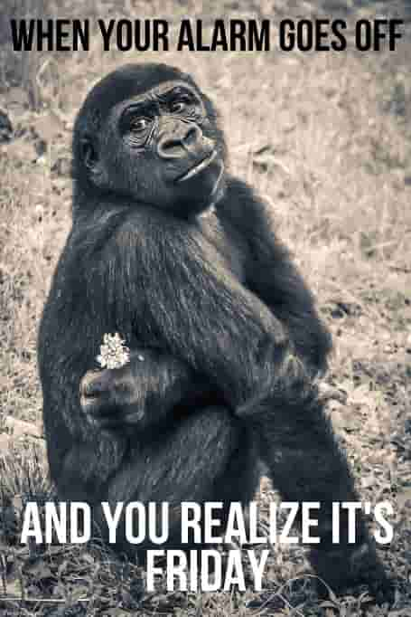 good morning friday monkey meme