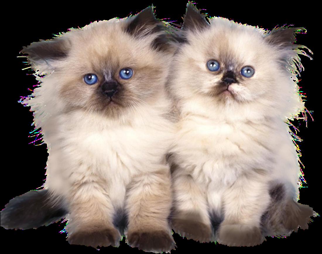 Recursos [B.D]: Gatos PNG