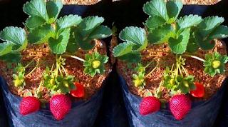 tanaman strawbery