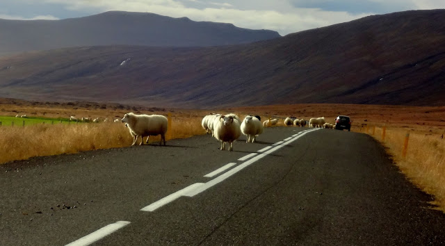 Ring Road driving in Iceland, Icelandic sheep