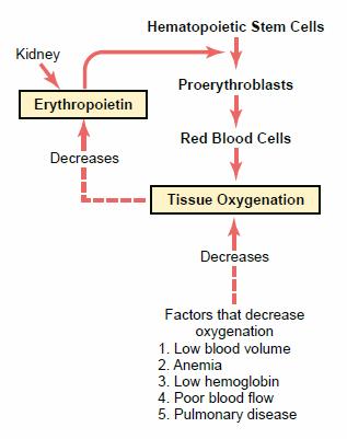 Erythropoiesis in animals ~ MAURIVET