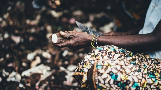 Cutting cassava