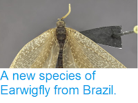 https://sciencythoughts.blogspot.com/2013/12/a-new-species-of-earwigfly-from-brazil.html