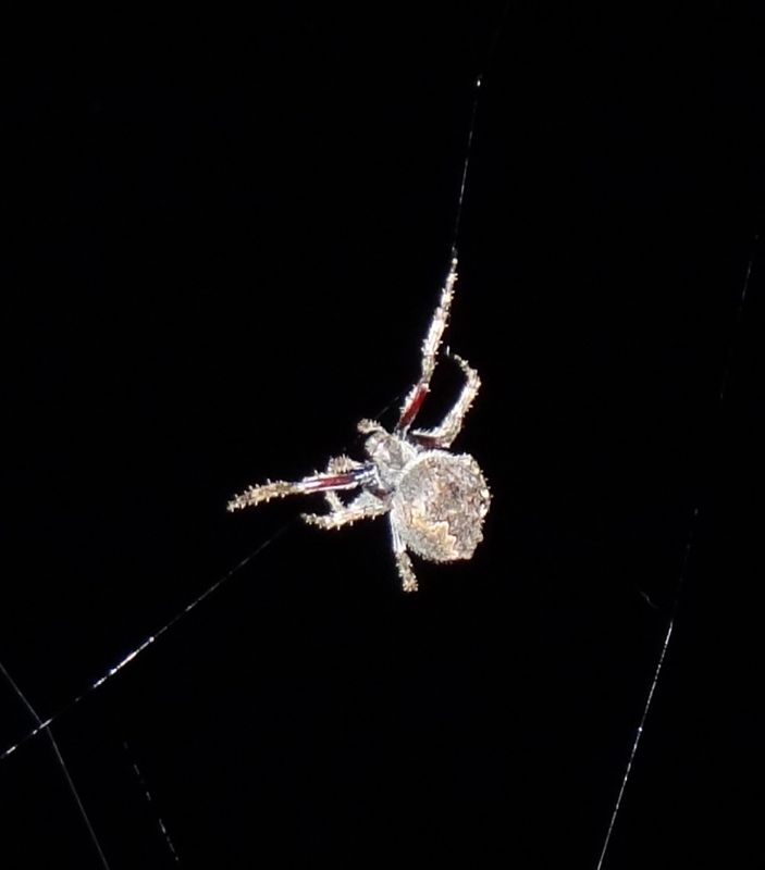 A Hebridean In New Zealand Spiders Spiders Everywhere
