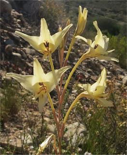 Gladiolus leptosiphon - Vergelegen