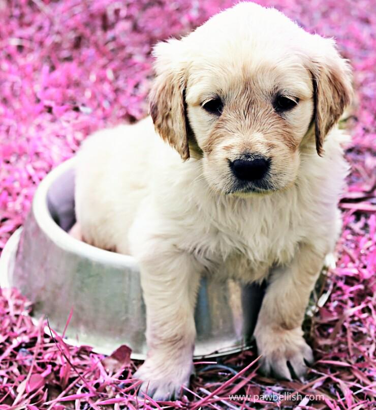 Labrador puppy sitting in their food dish