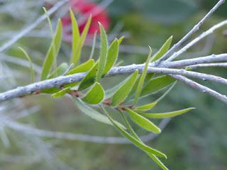 Rince bouteille - Plante goupillon - Callistemon sp