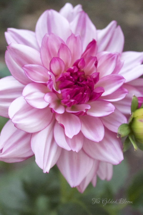 Dahlias- Hot Summer Flowers- www.gildedbloom.com