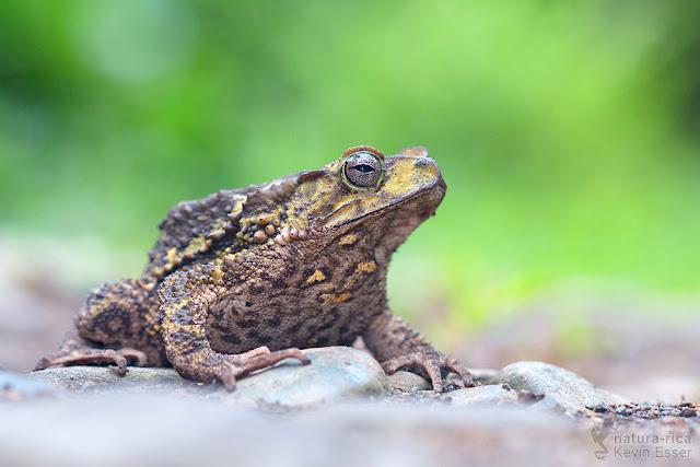 Incilius coniferus - Green Climbing Toad