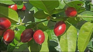 gambar buah jeruk kingkit