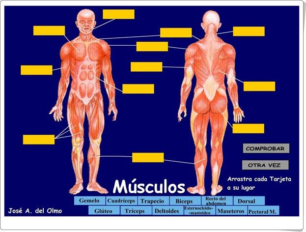 Los músculos Ciencias Naturales de Primaria