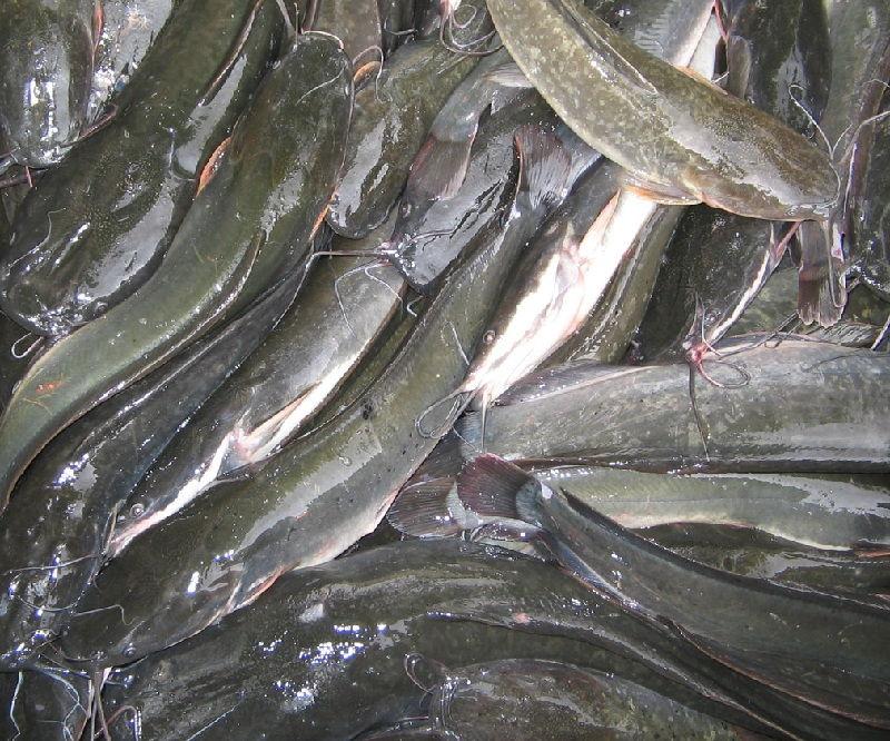 Ciri Khusus Ikan Lele