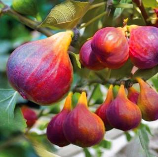 cara menanam dan merawat pohon tin