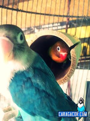 mencari untulan agar burung lovebird rajin ngekek panjang