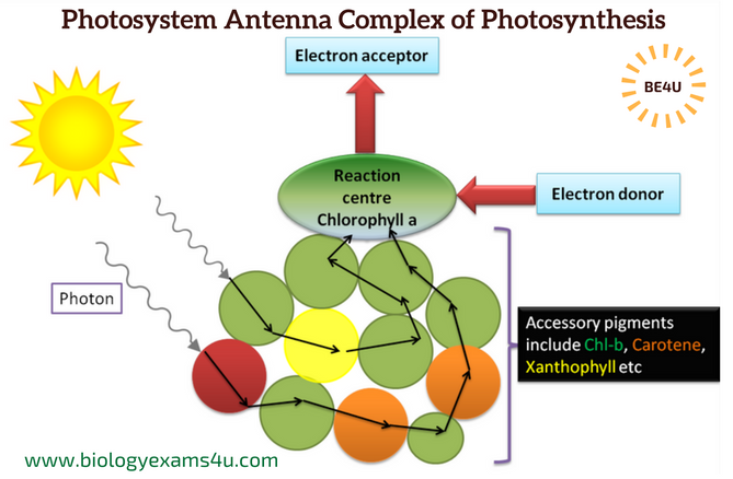 Photosystems antenna molecule complex