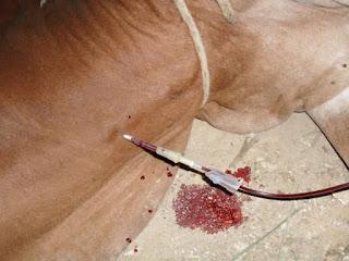 bovino recibiendo transfusion de sangre