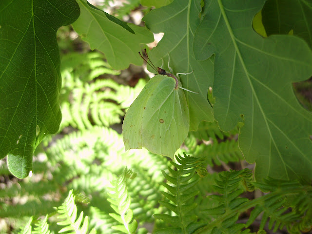 Mariposa Gonepteryx rhamni