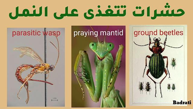 النمل الأبيض - النمل في المنام - النمل و النباتات