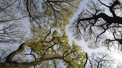 May oak tree canopy at Nettlebed