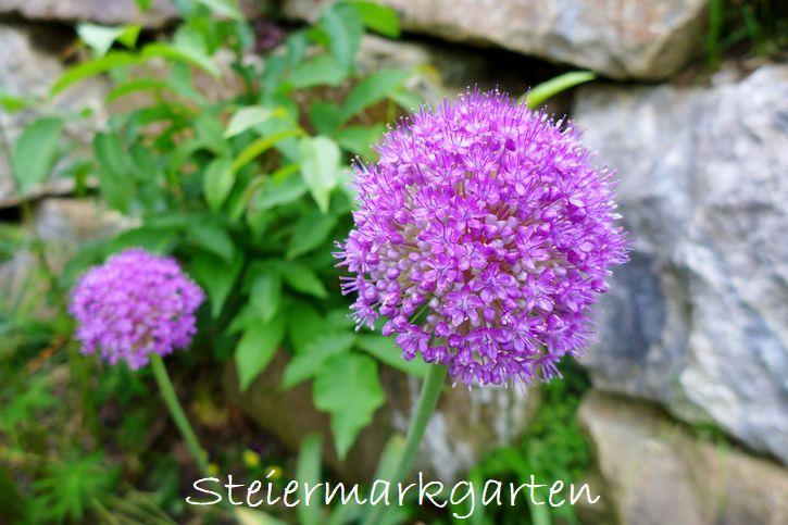 Allium-Zierlauch-Steiermarkgarten