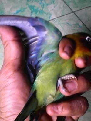 dunia burung memanfaatkan lovebird dark green d green