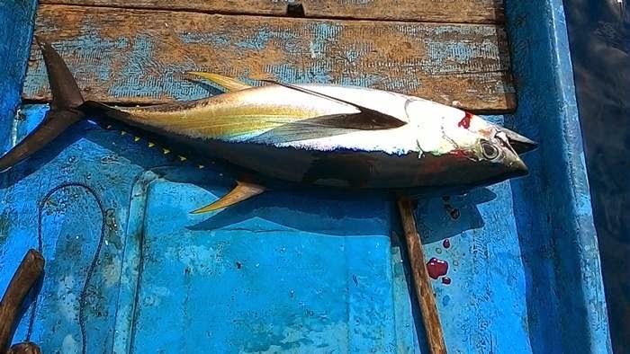 Begini Hasil Foto Asus Zenfone 3 Oleh Fot: Foto Ikan Tuna, Hasil Bidikan Dari Kamera Azus Zenfone 5