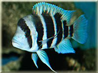 Frontosa Cichlid Fish Pictures