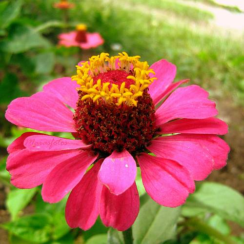 Dark pink zinnia-close-up photo