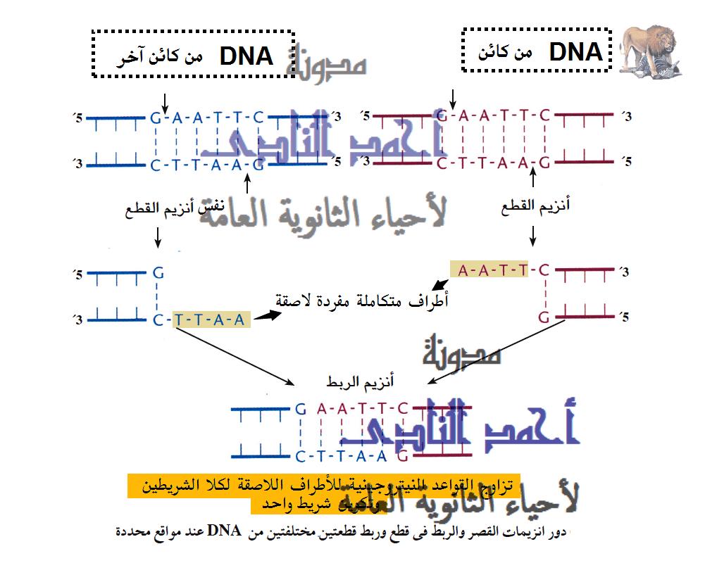 إنزيمات القصر ( القَطع )  البكتيرية  - أحياء الثالث الثانوى - إيشيريشسا كولاى e.coli  - الأطراف اللاصقة