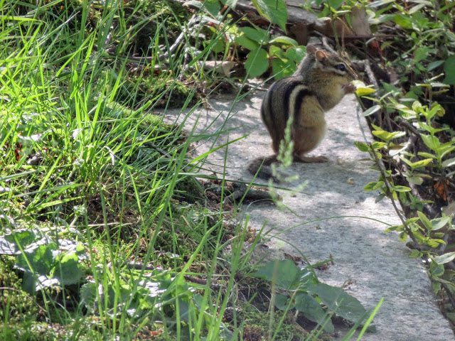 Chipmunk at Mount Auburn Cemetery in Cambridge, Massachusetts