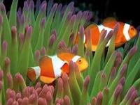 Cara Merawat Ikan Hias Badut Di Akurium