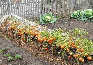 Грядка безрассадных помидоров в конце сентября