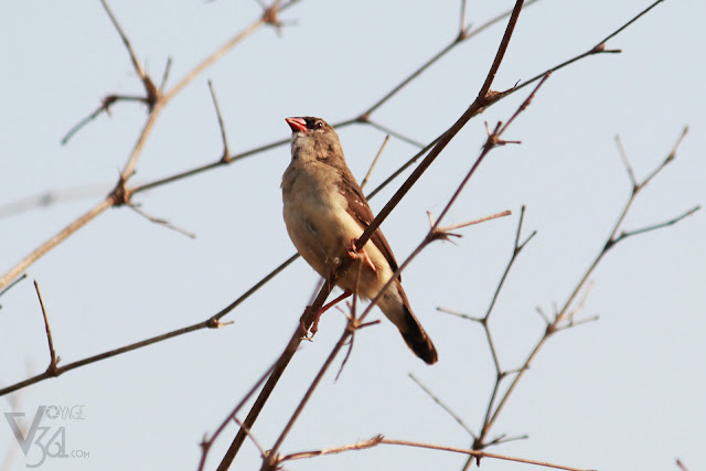 Red Avadavat or Red Munia or Strawberry Finch