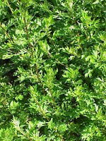 http://indonesian-herbal-medicine.blogspot.com/2015/05/homeremedies-for-epilepsy-from-mugwort.html